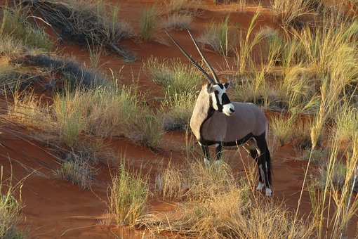 Once considered extinct, population of scimitar-horned Oryx